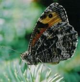Samice, Jizerské hory, 2004. Foto L. Říčánek