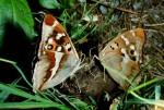 Vlevo Apatura iris, vpravo A. ilia, střední Čechy, Sedlčansko, 1996. Foto P. Bílek