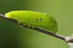 Larva, Hustopečsko, 2010. Foto M. Petrová