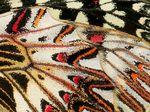 Detail zadních křídel, Podyjí 2015. Foto M. Fišer