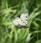 Imágo ukořistěné pavoukem, Slovensko, 2013. Foto D. Breiter