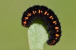 Dospělá larva, Štramberk, 2013. Foto D. Černoch