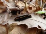 Larva, Morava, Znojemsko, 4.2010, Foto P. Vrba