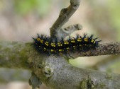 Dospělá larva, Čechy. Foto O. Čížek